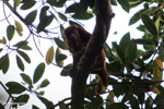 Red howler monkey [colombia_5553]