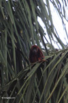 Red howler monkey [colombia_5555]