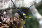 Yellow-rumped cacique [colombia_5561]