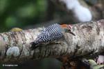 Melanerpes Woodpecker [colombia_5582]