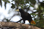 Yellow-rumped cacique [colombia_5587]