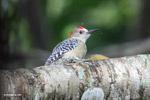 Melanerpes Woodpecker [colombia_5597]