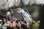 Melanerpes Woodpecker [colombia_5604]