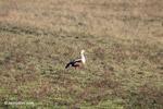 Orinoco Goose (Neochen jubata) [colombia_5606]