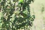 Brown-throated Parakeets (Aratinga pertinax) [colombia_5607]