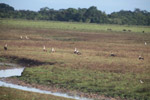 Orinoco Geese (Neochen jubata) [colombia_5612]