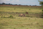 Wild boar [colombia_5613]