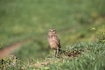 Burrowing Owl (Athene cunicularia) [colombia_5619]