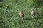 Burrowing Owl (Athene cunicularia) [colombia_5622]