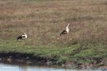 Orinoco Geese (Neochen jubata) [colombia_5629]
