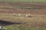 Orinoco Geese (Neochen jubata) [colombia_5636]