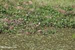 Young wattled jacana