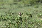 Aplomado falcon [colombia_5655]
