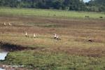 Orinoco Geese (Neochen jubata) [colombia_5662]