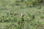 Aplomado falcon [colombia_5664]