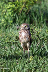 Burrowing Owl (Athene cunicularia) [colombia_5667]