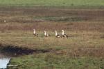 Orinoco Geese (Neochen jubata) [colombia_5671]