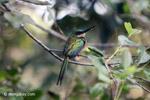 Green-tailed Jacamar (Galbula galbula)