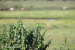 Brown-throated Parakeets (Aratinga pertinax) [colombia_5725]