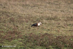 Orinoco Goose (Neochen jubata) [colombia_5735]