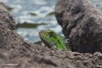 Green iguana [colombia_5777]