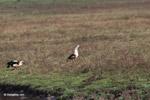 Orinoco Goose (Neochen jubata) [colombia_5800]