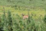Deer [colombia_5807]