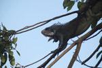 Common green iguana [colombia_5810]