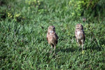 Burrowing Owl (Athene cunicularia) [colombia_5814]