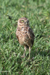 Burrowing Owl (Athene cunicularia) [colombia_5826]
