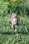 Burrowing Owl (Athene cunicularia) [colombia_5842]
