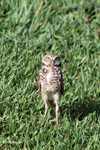 Burrowing Owl (Athene cunicularia) [colombia_5844]