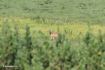 Deer [colombia_5856]
