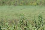 Brown-throated Parakeets (Aratinga pertinax) [colombia_5859]