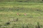 Deer [colombia_5860]