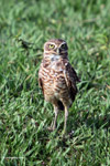 Burrowing Owl (Athene cunicularia) [colombia_5863]