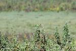 Brown-throated Parakeets (Aratinga pertinax) [colombia_5866]