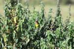 Brown-throated Parakeets (Aratinga pertinax) [colombia_5903]