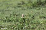 Aplomado falcon (Falco femoralis) [colombia_5904]