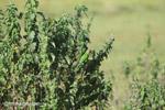 Brown-throated Parakeets (Aratinga pertinax) [colombia_5908]