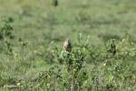 Aplomado falcon (Falco femoralis) [colombia_5926]