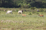 Deer [colombia_5935]