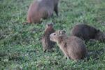 Baby capybara [colombia_5987]