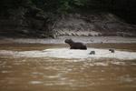 Capybara [colombia_6004]