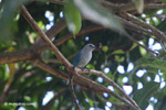 Blue-grey tanager [colombia_6005]
