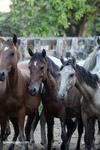 Colombian wild horses [colombia_6038]