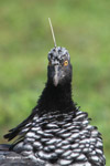 Horned screamer [colombia_6057]