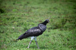 Horned screamer [colombia_6095]