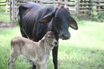 Mother cow with calf