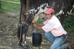Cowboy milking a cow